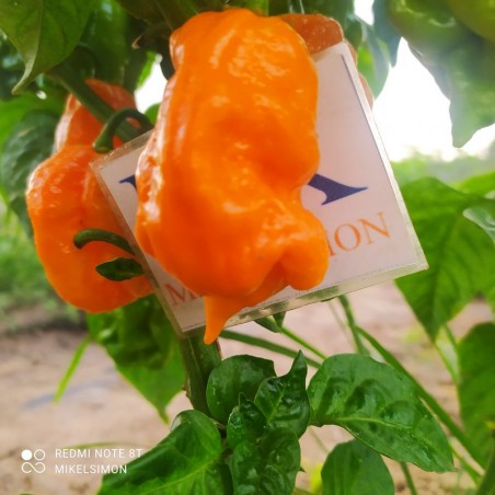 SCOTCH BONNET MOA RED,20 SEMILLAS,SEEDS,Capsicum chinense ,cosecha propia(168)
