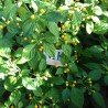 BHUTLAH MUSTARD ,20 SEMILLAS,SEEDS,Capsicum chinense (83)