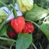 Ecuadorian Devil's Breath,20 Semillas,Seeds,Capsicum chinense, (223)