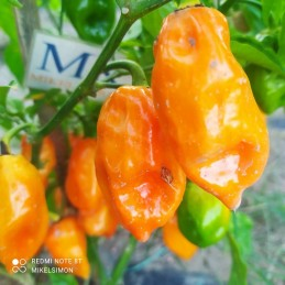 GARDEN PEPPER, ORNAMENTAL,...