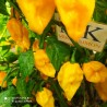 PEPPER d'ESPELETTE, 20 seeds Capsicum annuum, (247)