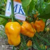 BLACK STINGER ,20 SEMILLAS,SEEDS,Capsicum chinense,cosecha propia (95)