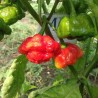 SCOTCH BONNET SAFI,10 SEMILLAS,SEEDS,Capsicum chinense,cosecha propia (169)
