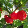 SCOTCH BONNET TRINIDAD RED,10 SEMILLAS,SEEDS,Capsicum chinense (171)