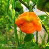 BLACK NAGA,10 SEMILLAS,SEEDS,Bangladesh, Capsicum chinense,cosecha propia (233)