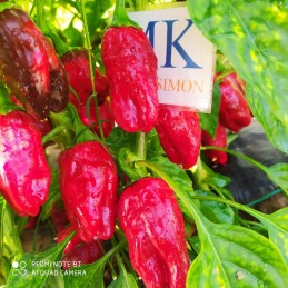NEYDE PEPPER, 10 seeds,...