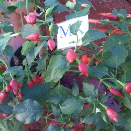 Habanero San Martin,20 Semillas,Seeds,Capsicum chinense, cosecha propia (142)