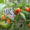 Habanero Antillais 14.5,Africa, 20 SEMILLAS,SEEDS,Capsicum chinense (112)