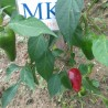 HABANERO WHITE GIANT ,10 SEMILLAS,SEEDS,Capsicum chinense,cosecha propia (140)