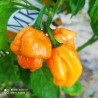XIGOLE,20 Semillas,Seeds,Capsicum annuum,cosecha propia (253)