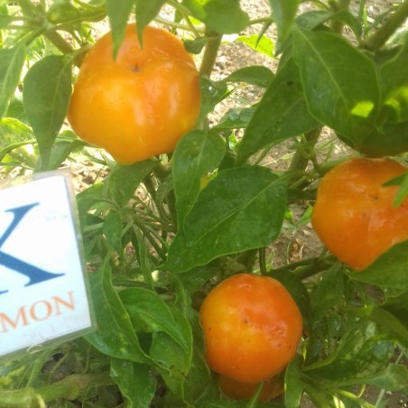 Scotch Bonnet Jamaican Long,10 Semillas,Seeds,Capsicum chinense (183)