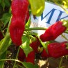 Habanero West Indian Yellow,10 Semillas,Seeds,Capsicum chinense (134)