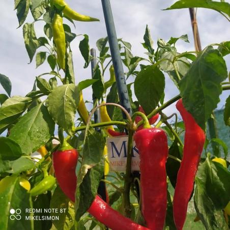 Habanero Guadalupe,10 Semillas,Seeds,Capsicum chinense,cosecha propia (152)