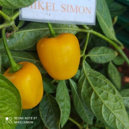 Habanero Gambia Orange,10 Semillas,Seeds,Capsicum chinense,cosecha propia (154)