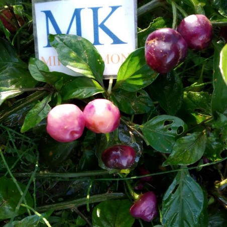 St. Lucia Yellow Seasoning,10 SEMILLAS,SEEDS,Capsicum chinense (179)