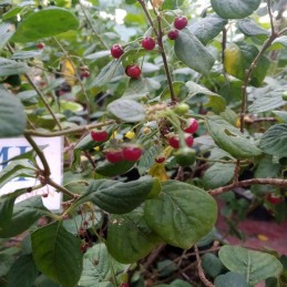 TRINIDAD SCORPION GREEN,20...