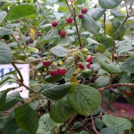 TRINIDAD SCORPION GREEN,20 SEMILLAS,SEEDS,Capsicum chinense cosecha propia (174)