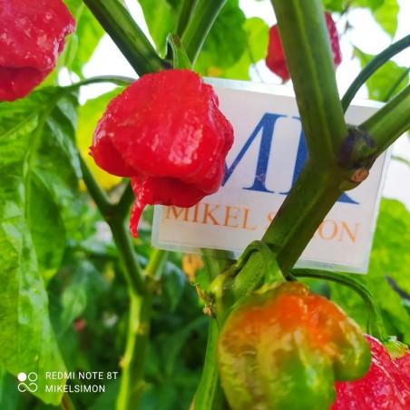Bhut Jolokia Mustard,10 Semillas,Seeds,Capsicum chinense, cosecha propia (99)