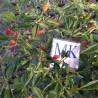 CAPEZZOLI DI SCIMMIA,10 semillas,Capsicum chinense, cosecha propia (235)