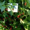 7 POD Infinity,10 semillas,seeds,Capsicum chinense ,cosecha propia (105)
