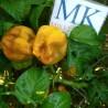 Apfel Paprika,10 semillas,Capsicum annuum,cosecha propia (276)