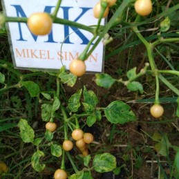 Bhut Jolokia Orange,10...