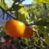 Black Pearl,10 semillas,seeds,Capsicum annuum,cosecha propia (218)