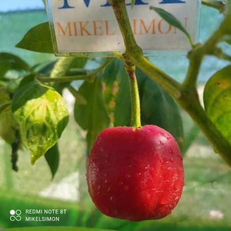 Black Prince,10 semillas,seeds,Capsicum annuum,cosecha propia (306)