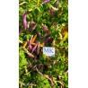 Golden Nugget,10 semillas,Capsicum annuum,cosecha propia (348)