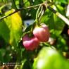 Aji Escabeche,10 semillas,Capsicum baccatum,cosecha propia (289)