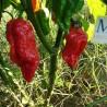 Capsicum Chacoense,Wild Chilli,Raro,10 semillas,seeds,cosecha propia (327)