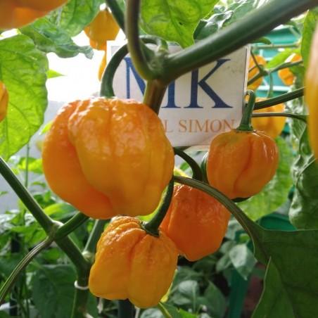 Bhut Jolokia Peach-melocoton,10 semillas,seeds,Capsicum chinense (100)