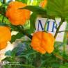 Filius Blue ,20 semillas,seeds,Capsicum annuum,cosecha propia (321)