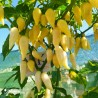 Burkina Yellow,10 semillas,seeds,Capsicum chinense,cosecha propia (236)