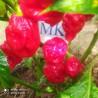 Bhut Jolokia Strain II,10 semillas,seeds,Capsicum chinense,cosecha propia (98)
