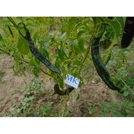 CHILE PURIRA ,Capsicum frutescens,20 SEEDS,SEMILLAS ,cosecha propia (8)