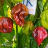 Cayena Gruesa 20 semillas,seeds,Cayena clásica,Origen: Guayana Francesa (9)