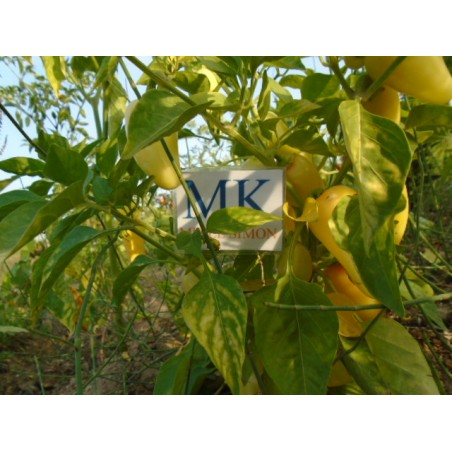 Chile salsa orange (Capsicum annuum) ,20 semillas (19)