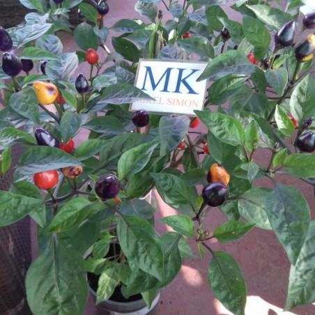 HABANERO GAMBIA ,Capsicum chinense ,10 SEEDS,SEMILLAS ,cosecha propia (22)