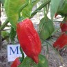 CHILLI AURORA, MULTICOLOR Capsicum annuum, 10 zaden, Homegrown (39)