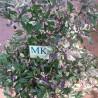 CHILE BUENA MULATA ,Capsicum annuum,10 semillas,cosecha propia (43)