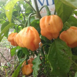 ROCOTO RED LARGE 10...